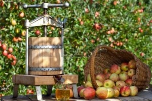8301245-some-apple-gets-pressed-to-a-fresh-apple-juice-some-apple-trees-are-behind-it